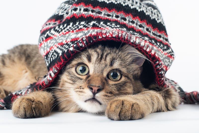 在圣诞节帽子的混杂的品种猫在白色背景 免版税图库摄影