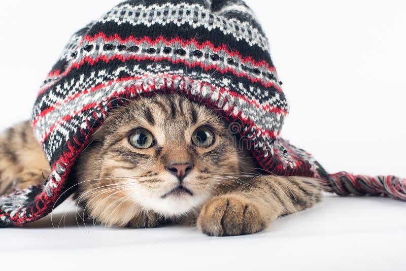 在圣诞节帽子的混杂的品种猫在白色背景 免版税库存照片