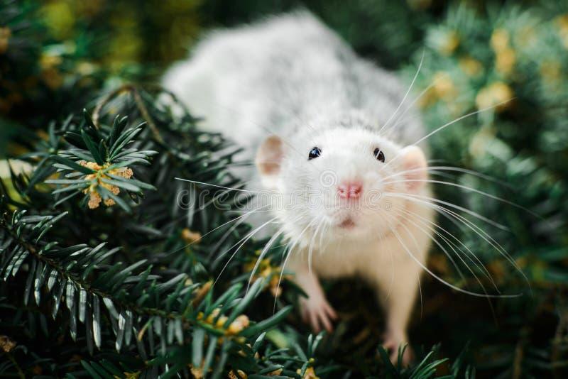 在圣诞节杉树,春节的花梢鼠2020年 库存照片