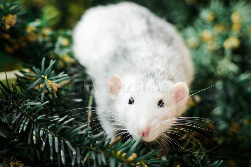 在圣诞节杉树,春节的花梢鼠2020年 免版税库存图片