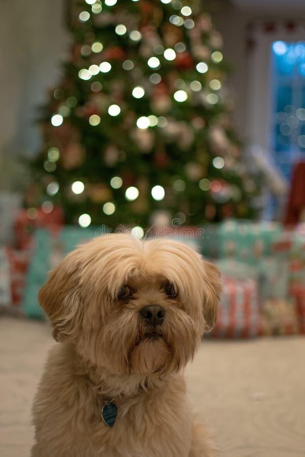 在圣诞节的狗 库存照片