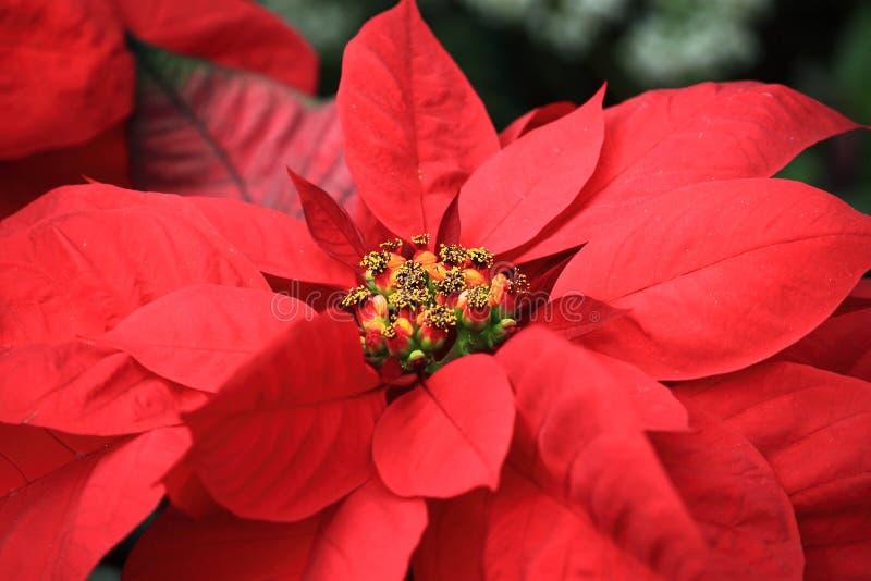 在圣诞节的红色一品红 免版税库存照片
