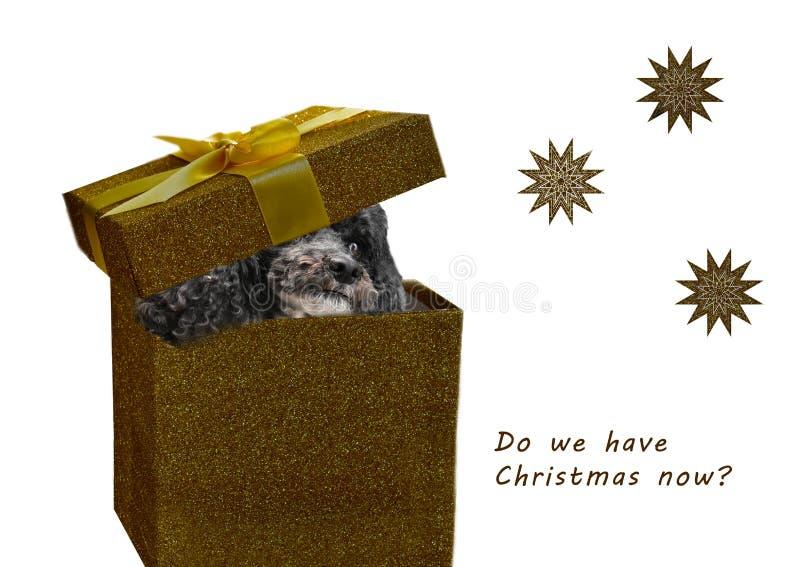 在圣诞节礼物的不耐烦的狗 免版税库存照片