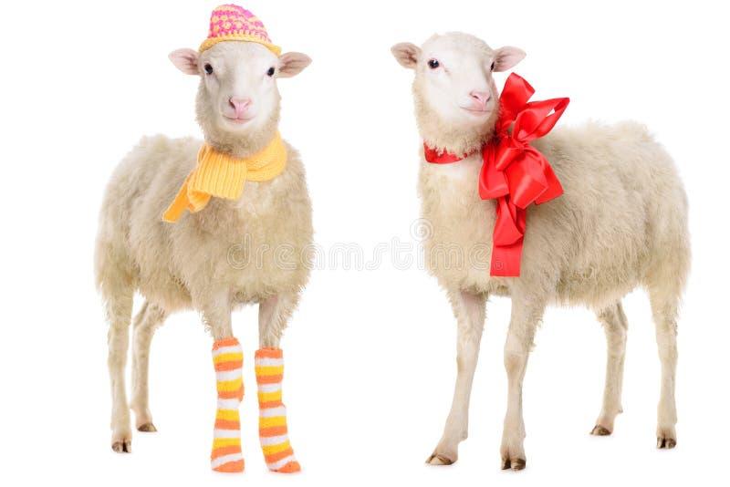 在圣诞节衣裳的两只绵羊 库存照片