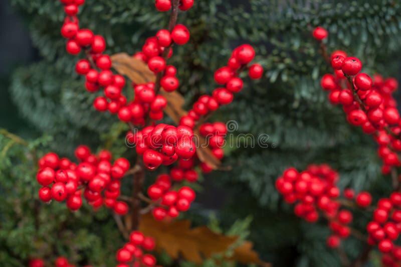 在圣诞节装饰的红色莓果在街道 免版税图库摄影