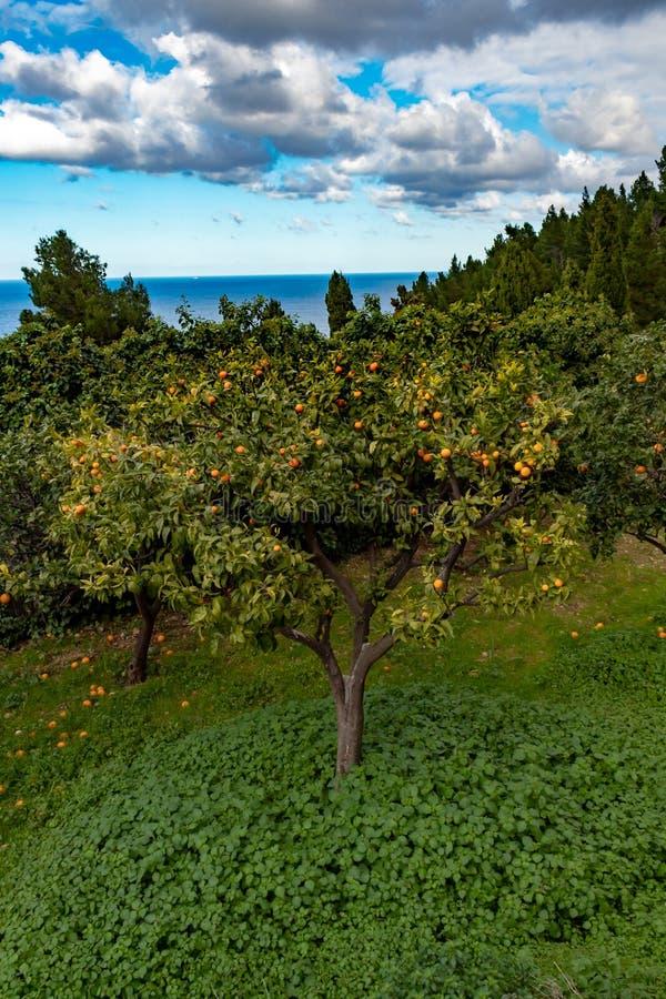 在地中海附近的橙树 库存图片