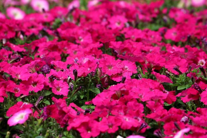 在地方公园密集地种植了红色喇叭花花卉生长包围与浅绿色的叶子背景纹理墙纸 免版税图库摄影