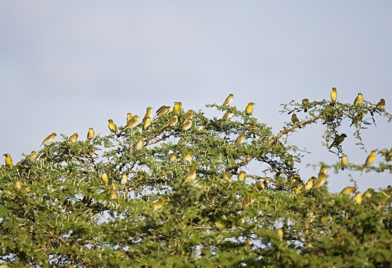 在地方树的鸟在坦桑尼亚 库存照片