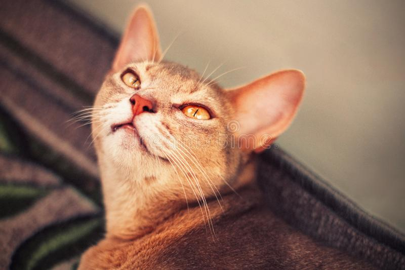 在地板上的埃塞俄比亚猫 蓝色埃塞俄比亚母猫接近的画象,说谎在地毯 俏丽的逗人喜爱的猫 免版税库存照片