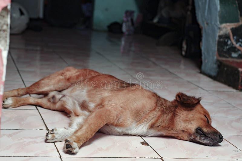 在地板上的狗,睡着了在房子,版本2里 库存照片