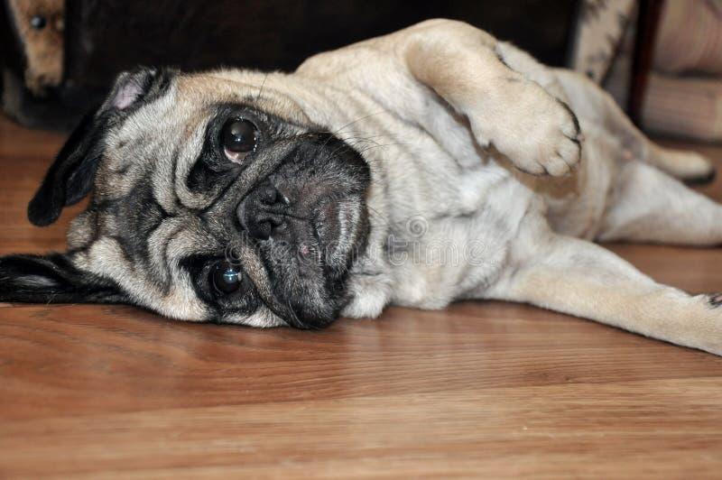 在地板上的狗 库存图片