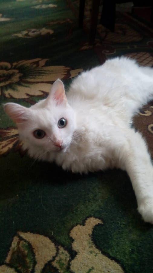在地板上的白色猫 库存照片