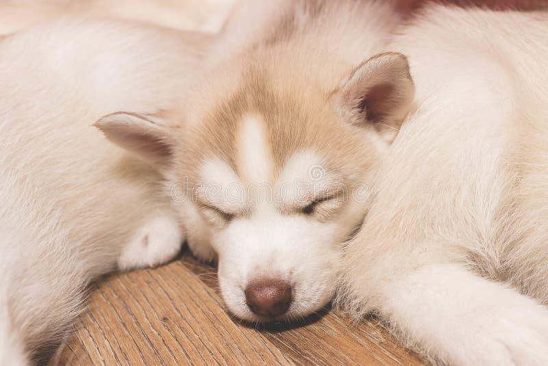 在地板上的睡觉多壳的小狗 免版税库存照片