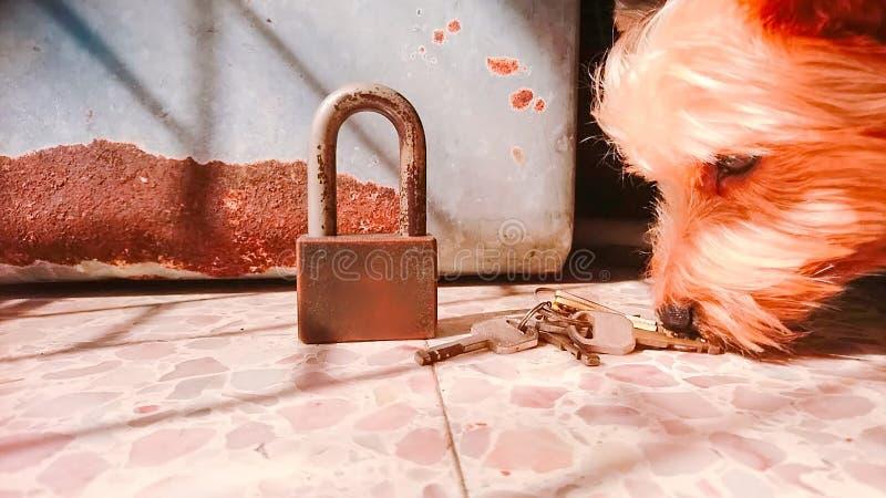 在地板上的约克夏狗嗅到的钥匙 库存图片