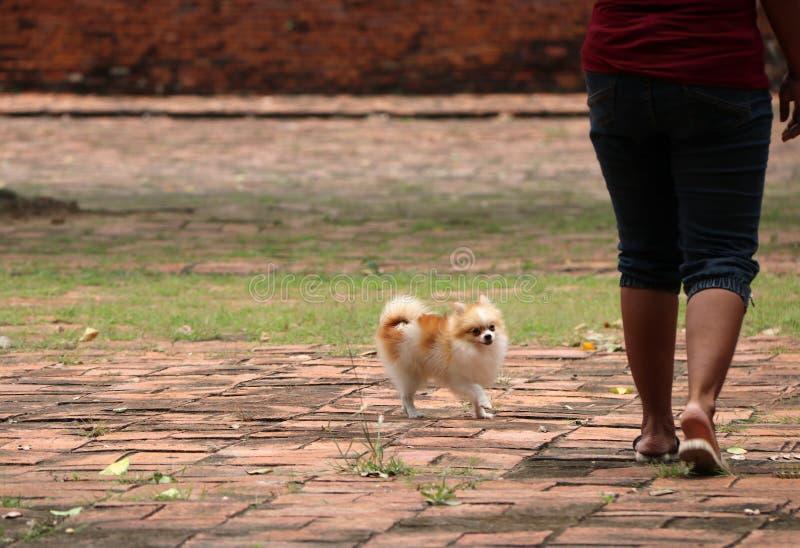 在地板上的Pomeranian狗与人的腿 免版税库存图片