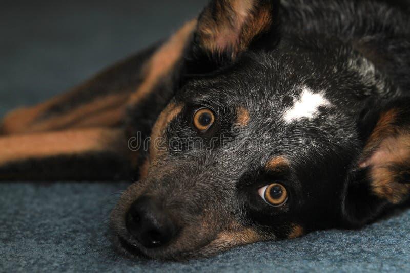 在地毯的蓝色heeler狗 图库摄影
