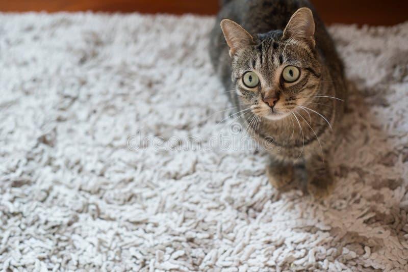 在地毯的虎斑猫 免版税库存图片