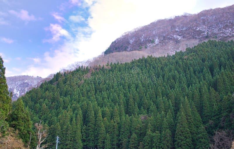 在地狱谷,地狱谷,日本的松树 库存照片