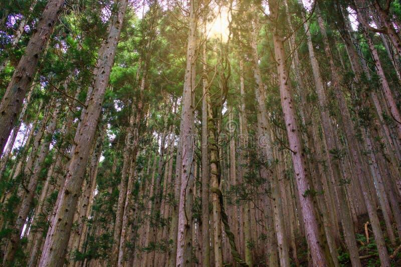 在地狱谷,地狱谷,日本的松树 免版税库存照片