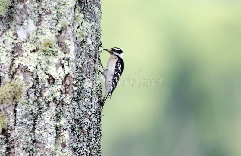 在地衣的柔软的啄木鸟盖了栗子橡木,发烟性山 图库摄影