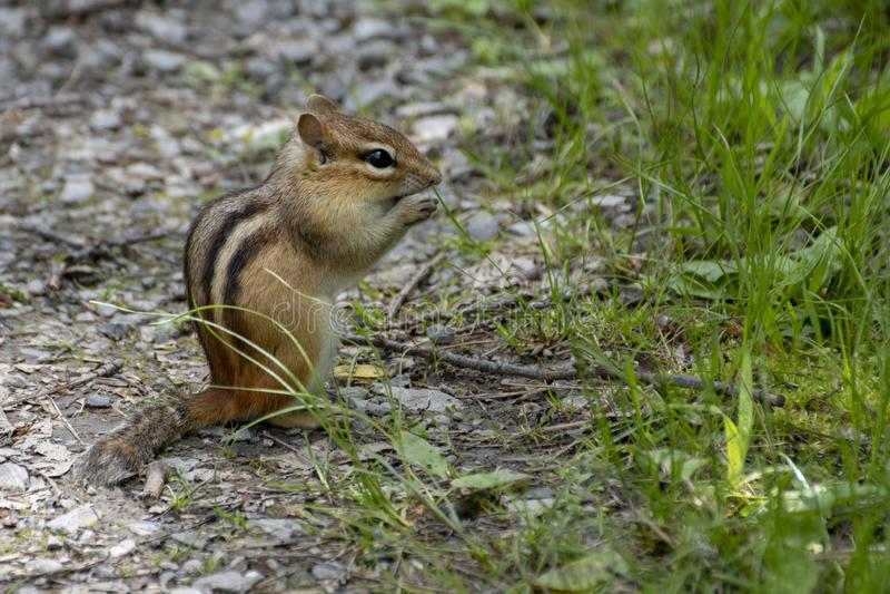 在地面上栖息的花栗鼠 免版税库存照片