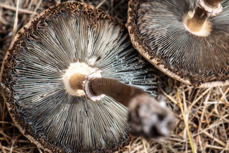 在地面上烘干的毒物毒性蘑菇 免版税库存图片