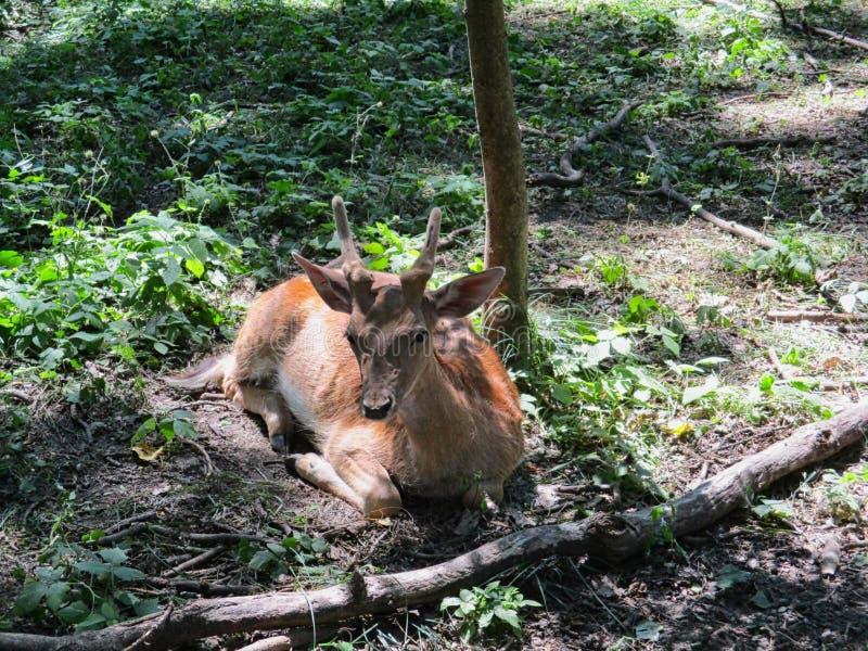 在地面上的一只小鹿 库存照片