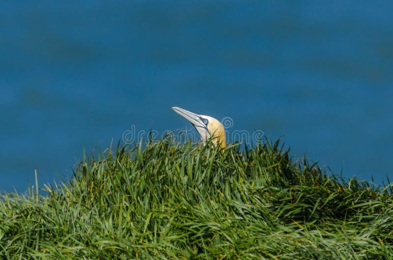 在地面上的一大gannet在嵌套季节期间 库存图片