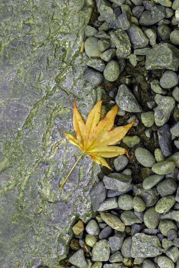 在地面上的一片黄色枫叶 免版税库存图片