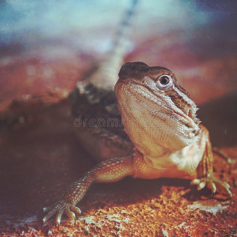 在地面上的伟大的蜥蜴画象 图库摄影