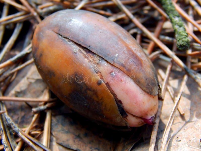 在地面上的发芽橡子,在干燥叶子中在森林里 免版税图库摄影