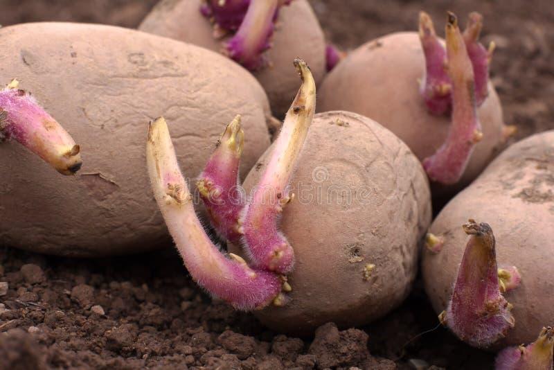 在地面上的发芽的土豆 免版税图库摄影