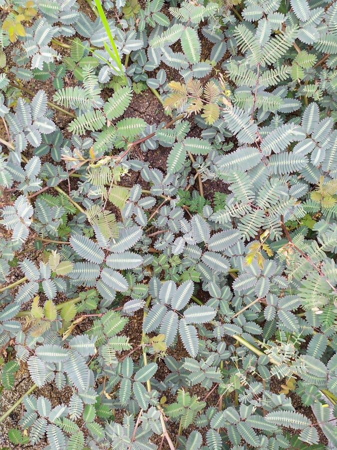在地面上的含羞草pudica 库存照片