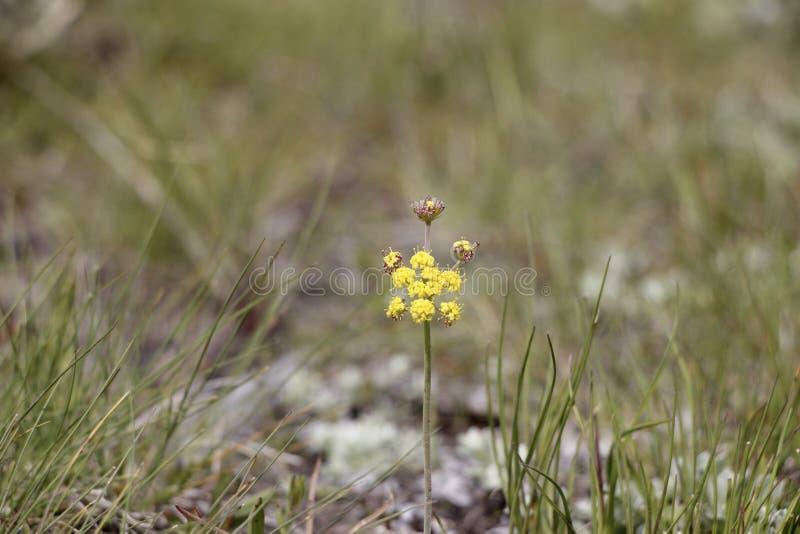 在地面上的唯一黄色花 图库摄影