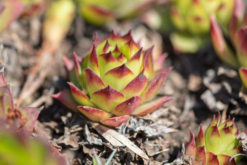 在地面上的多刺的植物花 库存照片