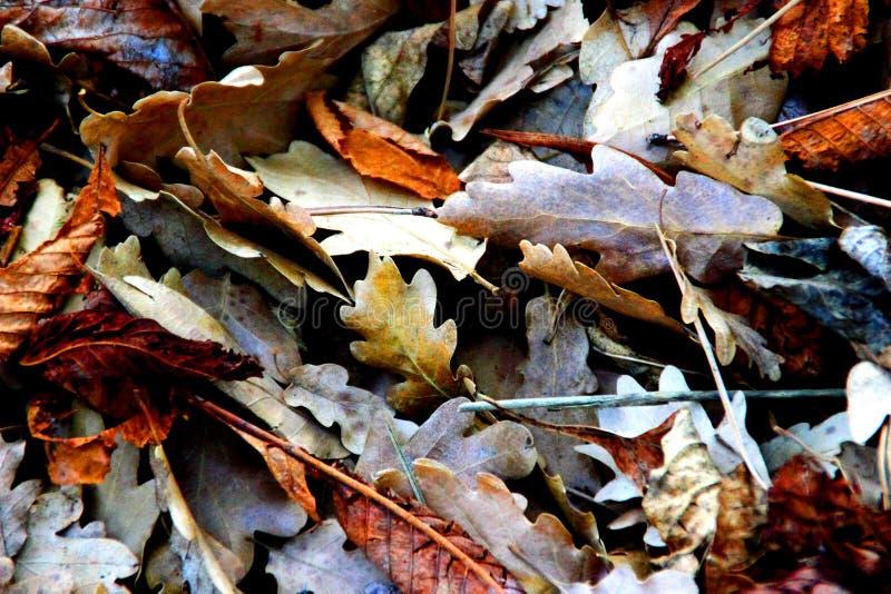 在地面上的干燥橡木和栗子叶子 免版税库存图片