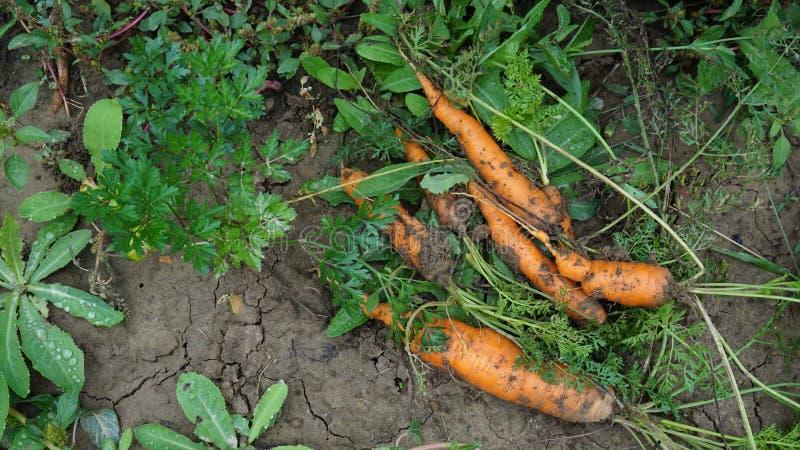 在地面上的新鲜的生物红萝卜 免版税库存图片