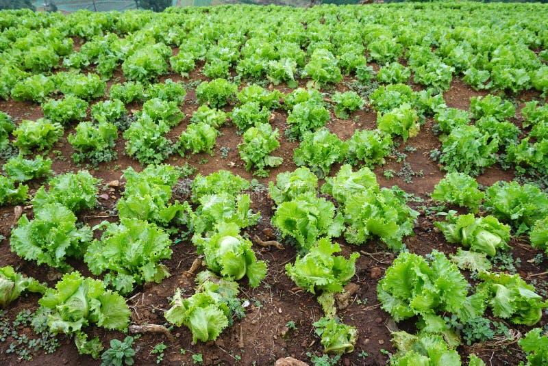 在地面上的新鲜的绿色莴苣在农场 免版税库存照片