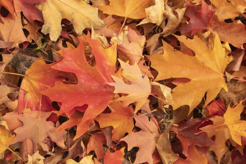 在地面上的明亮地色的秋天枫叶背景在红色橙色和黄色 图库摄影