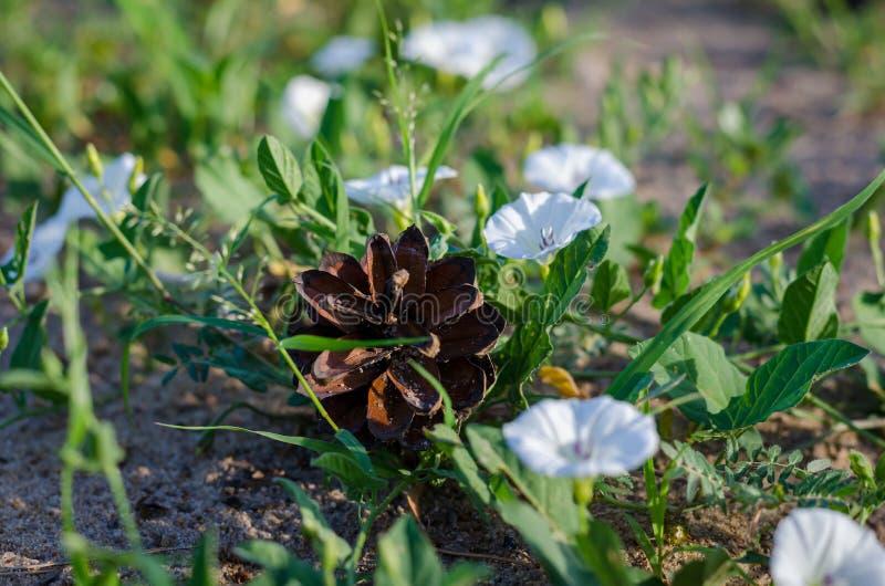 在地面上的杉木锥体在会开蓝色钟形花的草中白花  免版税库存照片