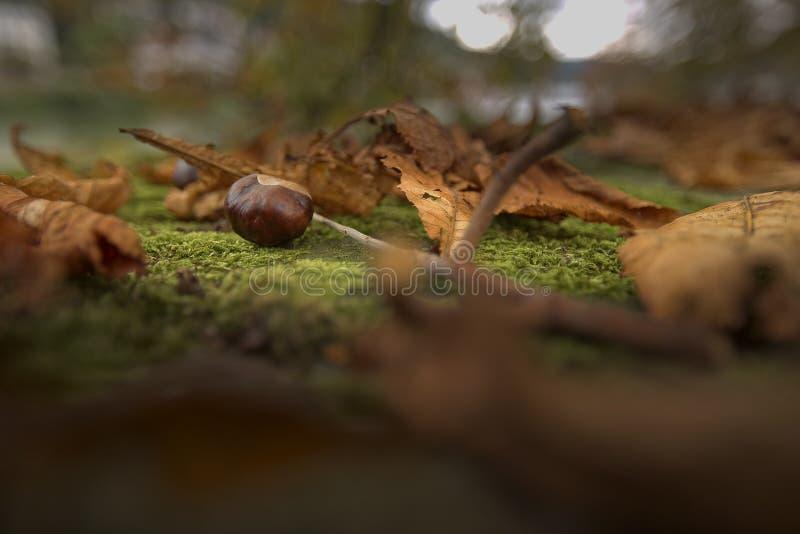 在地面上的栗子在秋天期间 免版税库存图片