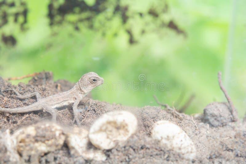 在地面上的泰国变色蜥蜴 免版税库存照片