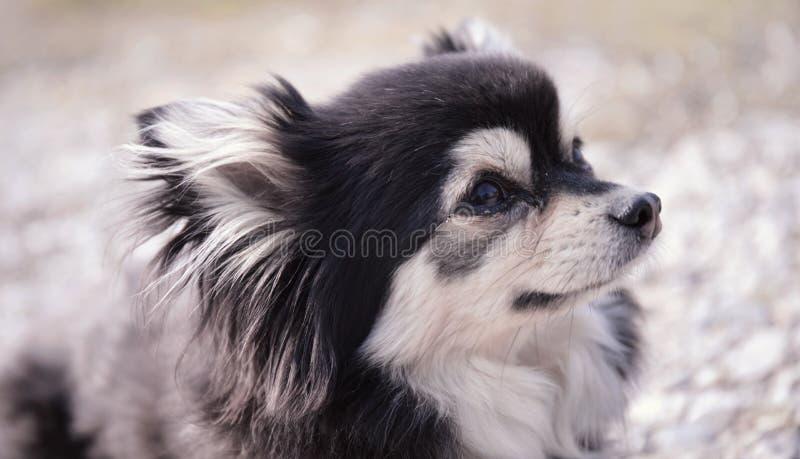 在地面上的甜小奇瓦瓦狗 免版税库存照片