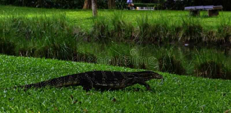 在地面上的监控蜥蜴 免版税库存图片