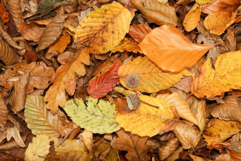 在地面上的秋叶在Bencroft森林在赫特福德郡,英国 库存照片