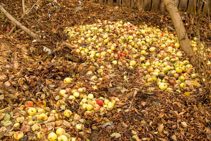 在地面上的苹果谎言在秋天 免版税图库摄影