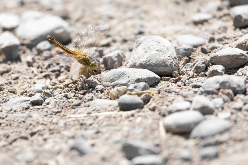 在地面上的蜻蜓本质上 免版税库存照片