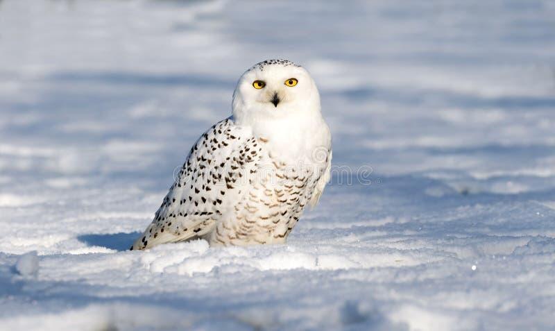 在地面上的雪猫头鹰 免版税库存照片
