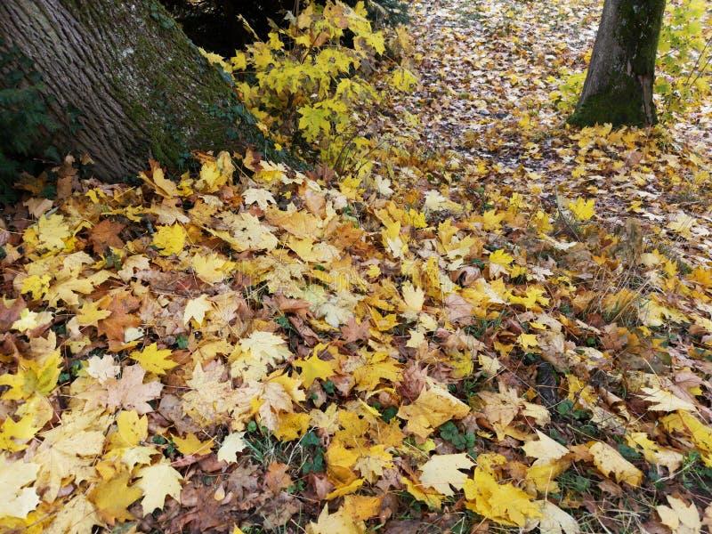 在地面上的黄色秋叶 库存图片