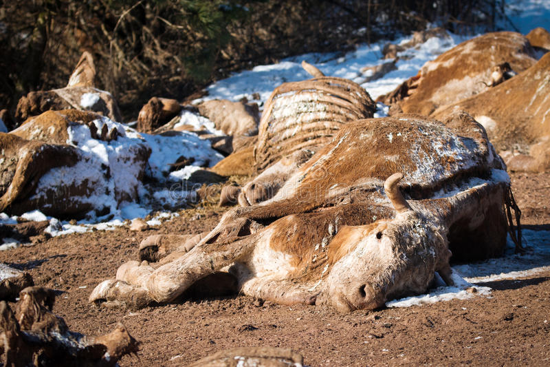 在地面上的死的母牛 免版税库存照片